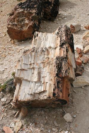 versteinerter Baum
